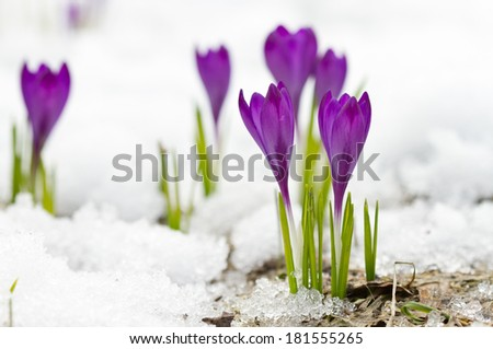 Violet spring crocuses on the snow - stock photo