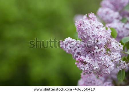 Violet, spring flowers of lilac (Syringa vulgaris) on green blurred background as copy space - stock photo