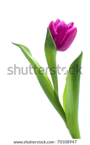 Violet spring tulip on white background - stock photo