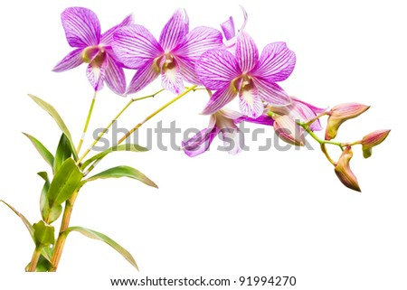 violet thai orchids flowers.(This image contain clipping path)