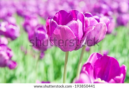 violet tulips close up in sunny spring day