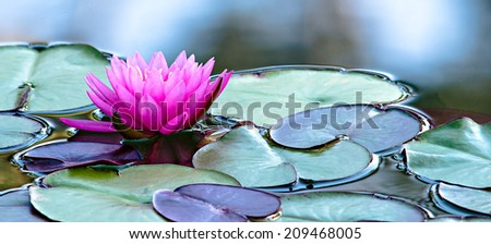 Violet Water Lily in a Peaceful Natural Setting  - stock photo