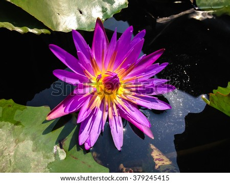 violet waterlily or lotus flower blooming on pond - stock photo