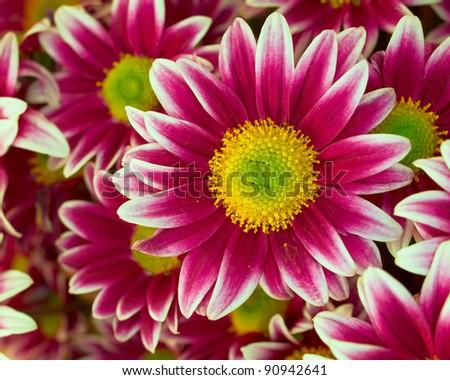 violet-white chrysanthemum closeup, natural background - stock photo
