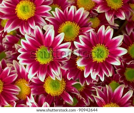 violet-white chrysanthemums closeup, natural background - stock photo