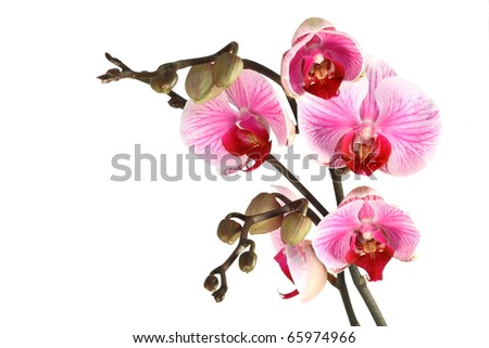Violet - white orchid with buds (white isolated)