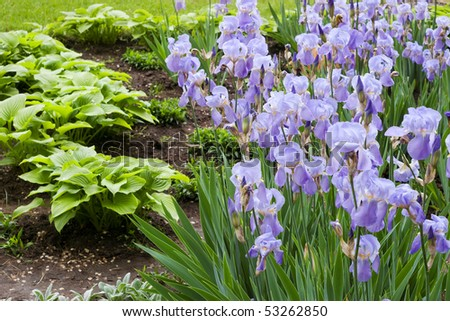 violet wild flower iris with blurred green leaves growing from soil in the background - stock photo