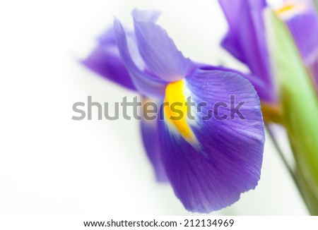 violet yellow iris blueflag flower - stock photo