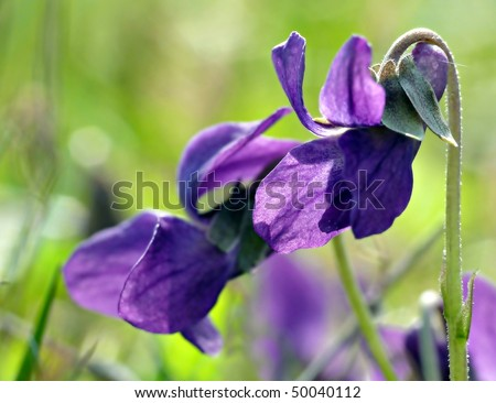 Violets in grass close-up