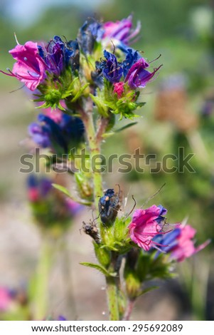 Viper's Bugloss blooming in summer. Botanical photo - stock photo