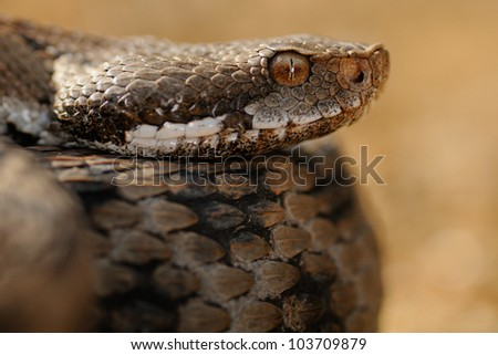Vipera aspis hugyi - portrait - stock photo