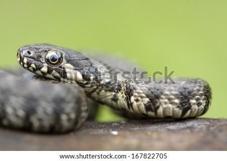Viperine snake (Natrix maura) - stock photo
