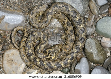 viperine water snake (Natrix maura)  - stock photo