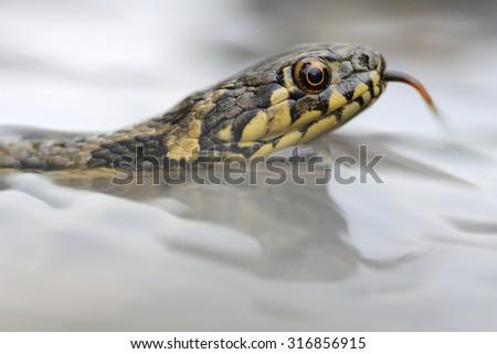 viperine water snake (Natrix maura) Young specimen - stock photo
