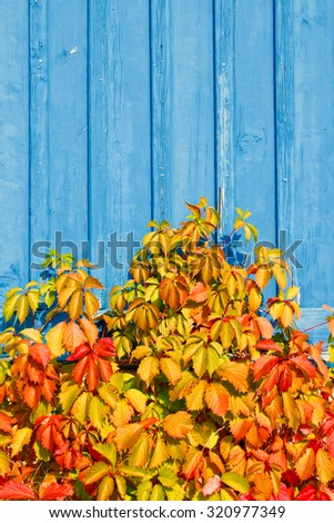 Virginia creeper (Parthenocissus quinquefolia) plant climbs up a blue wooden wall. Autumn colored vibrant leaves. - stock photo