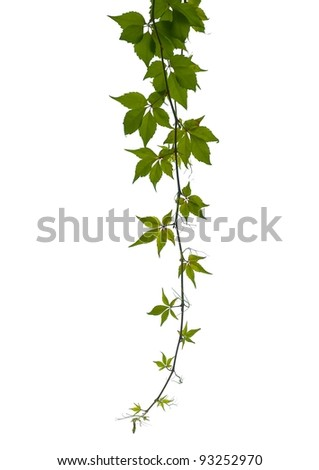 Virginia creeper twig isolated - stock photo