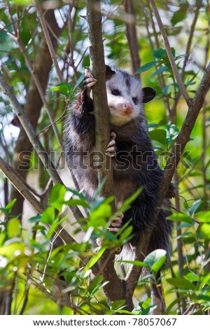Virginia Opossum (Didelphis virginiana)  in a tree