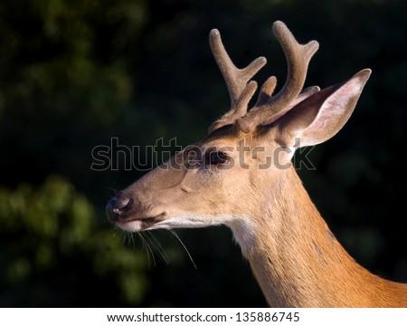 Virginia Whitetail Deer - stock photo