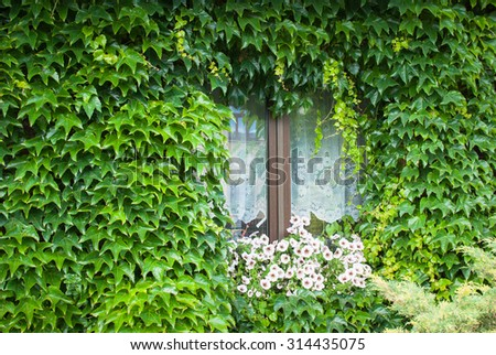 Virginian creeper - White and purple surfinia flowers decorating a window of a house covered by green creeping plant - stock photo