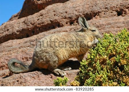 Viscacha, Salar de Uyuni, Bolivia - stock photo