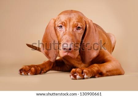 viszla puppy portrait - stock photo