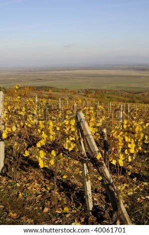 viticulture in fall season - stock photo