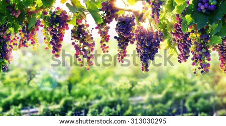 viticulture, the sun that ripens the grapes  - stock photo