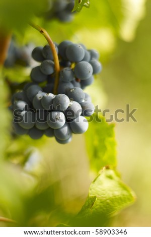 Vitis of Merlot in Saint Emilion - stock photo