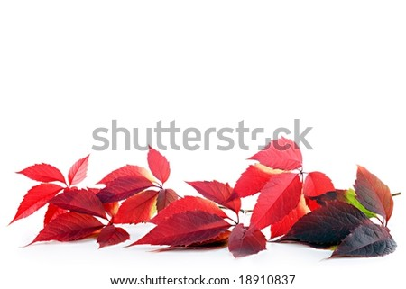 vivid autumn leaves on white background