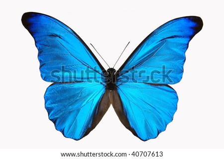 Vivid blue Morphy butterfly and white background. - stock photo