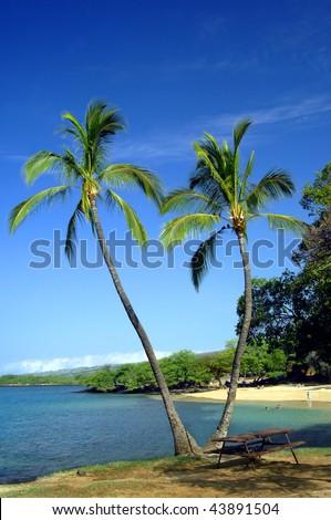 Vivid blue skies frame two split palm trees on a beach on the Kohala Coast on the Big Island of Hawaii.  Swimmers enjoy the gently sloping beach. - stock photo