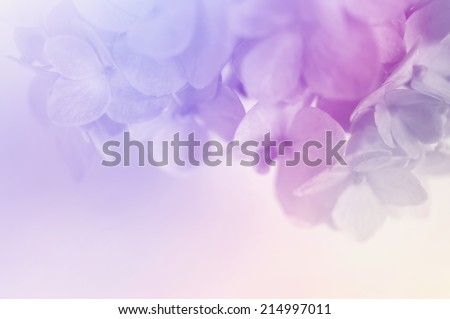 vivid color hydrangeas in soft color for background - stock photo