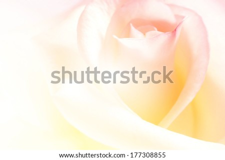 vivid color rose, soft background - stock photo