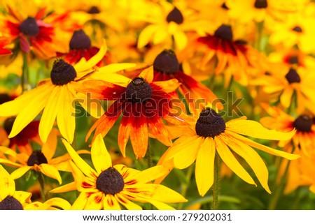 Vivid colored rudbeckia or black eyed susans, in the late summer garden. - stock photo