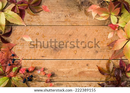 Vivid colorful autumn Virginia Creeper leaves on the grunge wooden desk. Detail with copy space. - stock photo