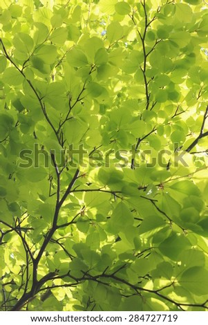 Vivid Green Beech Leaves in Spring, England.