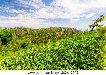 Vivid green tea crop landscape in Haputale, one of the most visited landmark in Sri Lanka. Wide angle shot in a bright day of summer with clear blue sky.