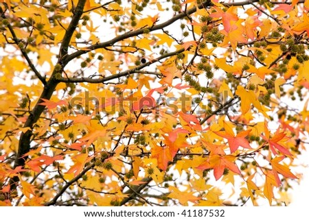 vivid liquidambar autumn tree on white background