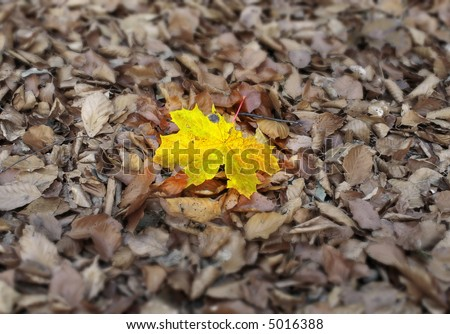 vivid maple leaf against other dry fallen leaves, focus is set on the yellow leaf - stock photo