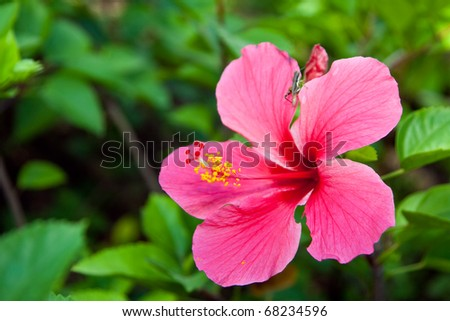 Vivid pink hibicus is blooming in the morning sunlight, Chonburi Thailand - stock photo
