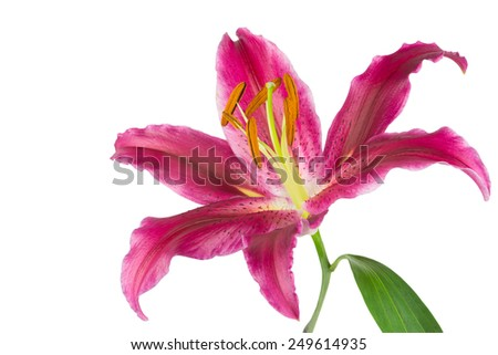 Vivid pink Stargazer lily isolated on white background.