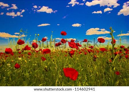 Vivid poppy field - stock photo