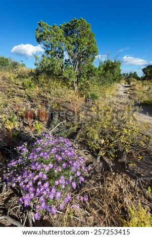 Vivid purple asters on a hiking trail in Bandelier National Monument, NM