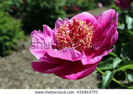 Vivid purple peony on green background, single blooming flower - stock photo