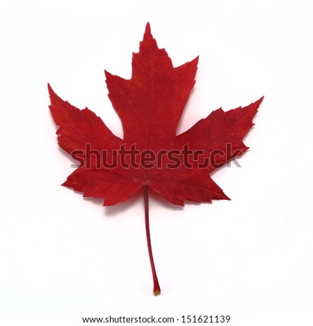 Vivid red maple leaf close up - stock photo