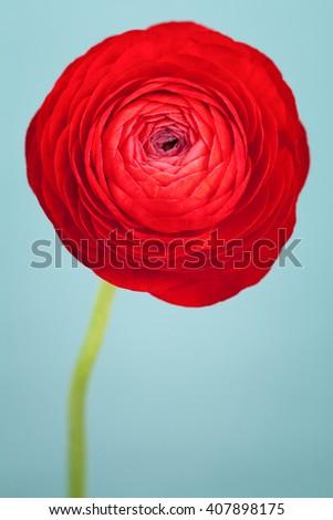 Vivid red ranunculus flower on blue background - stock photo
