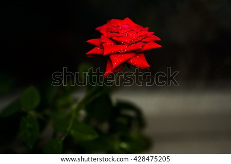 Vivid red rose with drops of dew on the petals on dark background. Mysterious composition. - stock photo