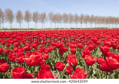 vivid red tulips in dutch noordoostpolder in the province of flevoland flower field with trees and blue sky in the background - stock photo