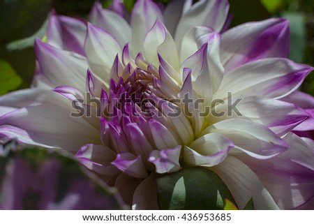 Vivid white and violet purple flower floral burst macro photo photograph detailed bright deep inside the middle leaves petals intricate background backdrop - stock photo