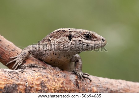 Viviparous lizard - stock photo